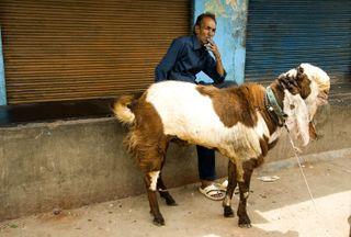 Big ugly goat